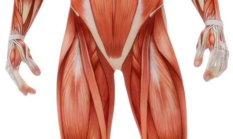 Groin Muscle Diagram