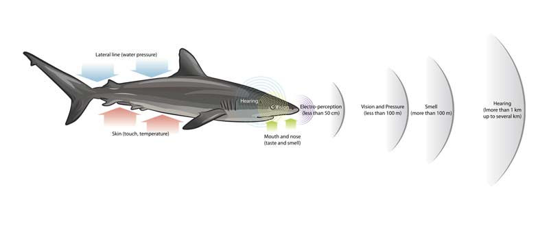 Shark Sensory Perception